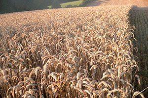 objectifs ferme pédagogique : découverte du champ de blé à la ferme pédagogique du doux riez de l'Authie