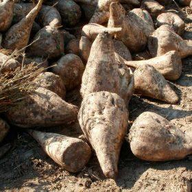 betterave à sucre à la ferme du doux riez de l'Authie